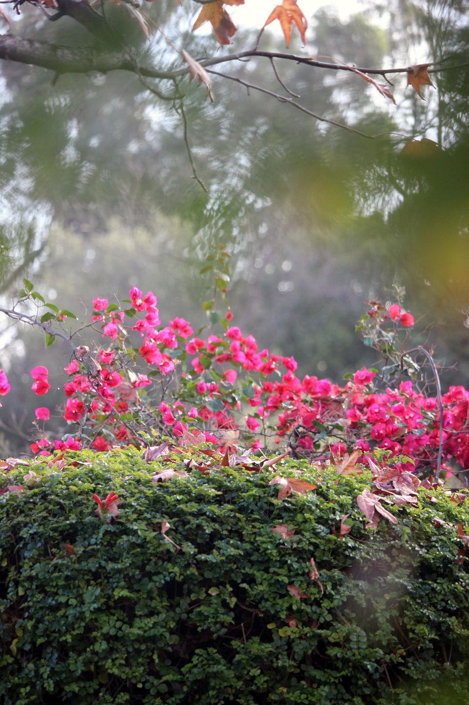 Backyard Birder Bogenvilla Fall And Spring Fl Flowering Shrubs Hazy Flower Garde Misty Misty Morning Scientific Meaning Pastel Power! Pastel Power