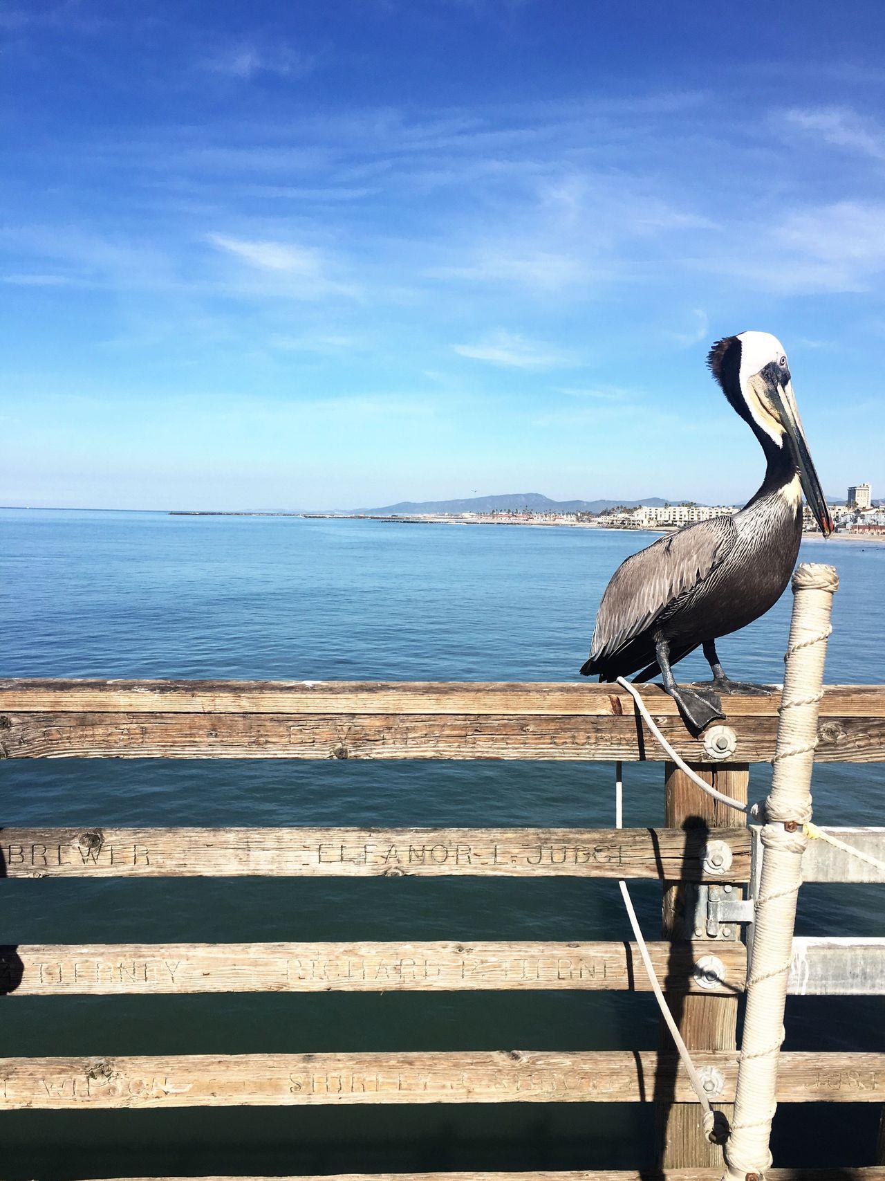Southern California Oceanside Pier Bird Water Nature Sea Animal Wildlife