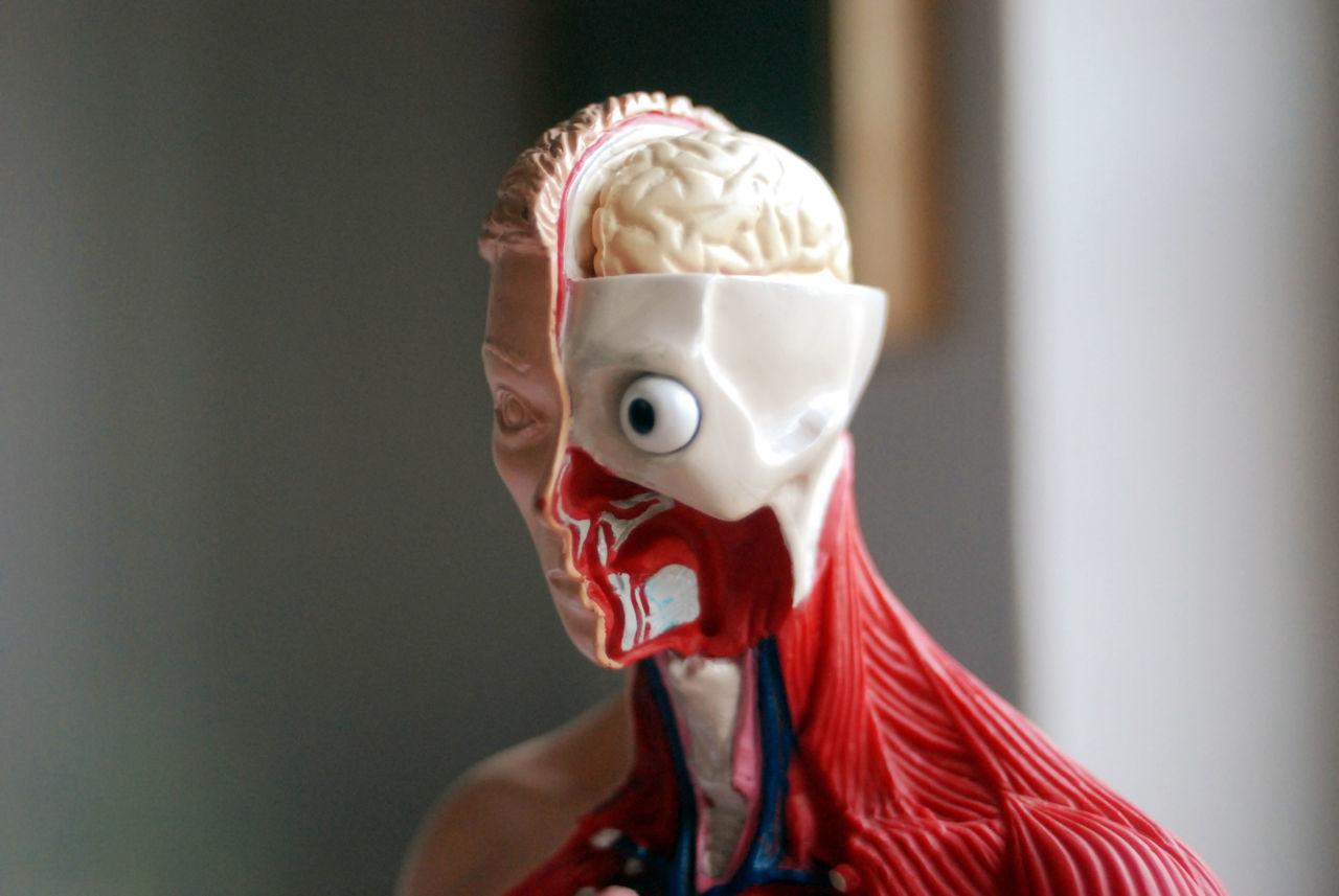 Beautiful stock photos of totenkopf, Anatomy, Biology, Body, Brain
