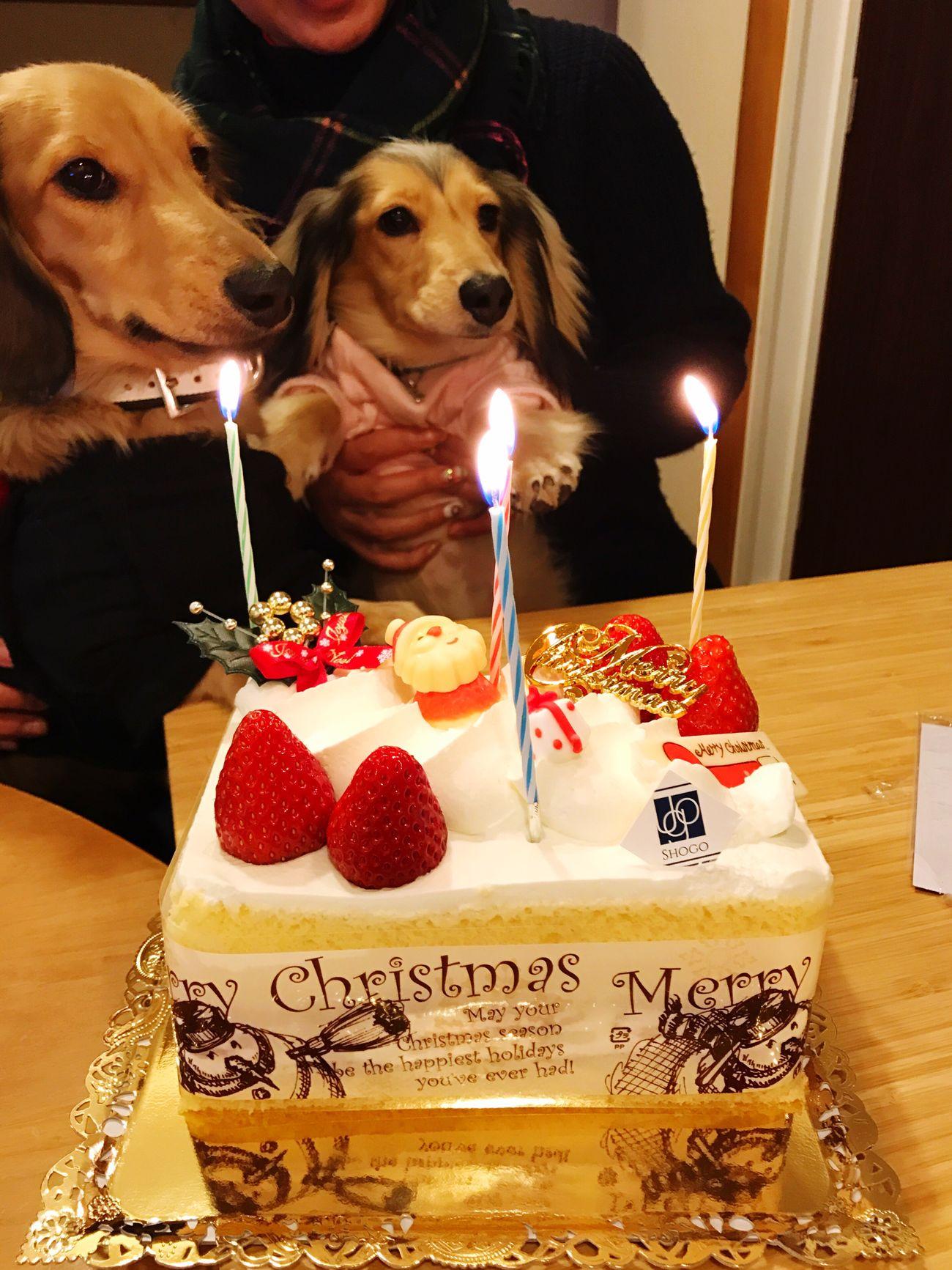 Merry Christmas Dog Sweet Food Minituredachshund