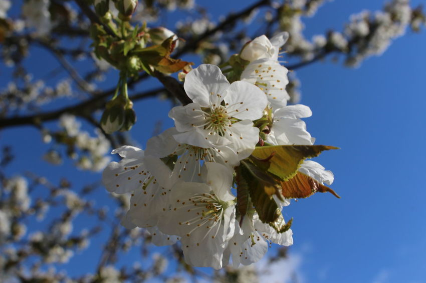 Frühlingserwachen Kirschblüte Nature Blüten Und Himmel Garten
