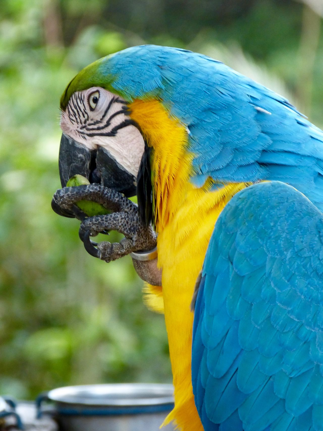 Blue Macaw , Ara Parrot Gelbbrustara Beak focus on foreground colored no people Parrot Lover Papagei Macaw Parrot Beauty In Nature Close-up Parrots Of Eyeem Zoology