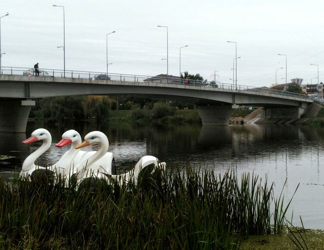Connection Water Architecture Animals In The Wild Transportation Bridge River Swan Plant Outdoors Nature Beautyinnature  Oradea Romania