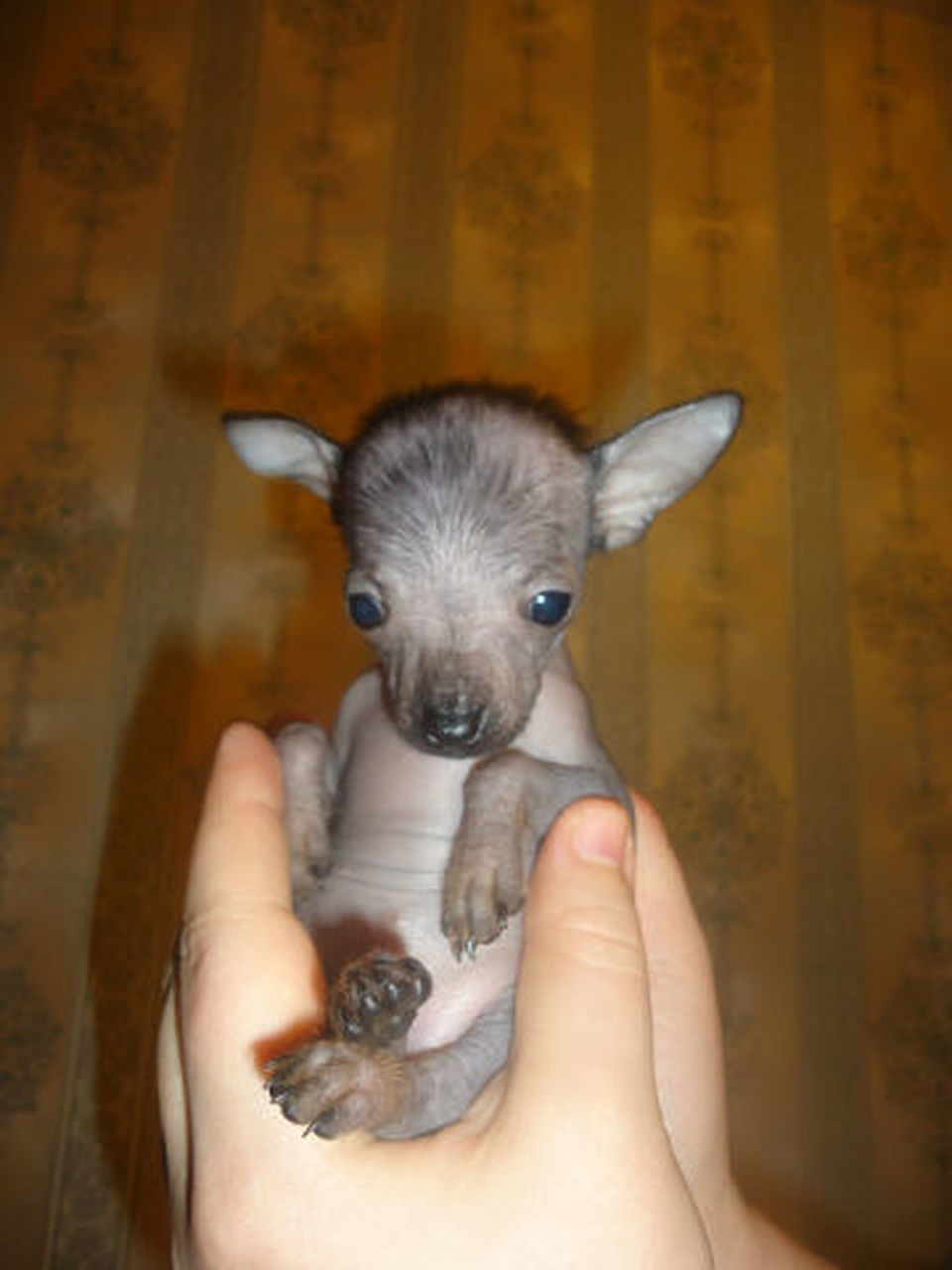 human hand, human body part, pets, animal, holding, one person, one animal, domestic animals, people, animal themes, dog, indoors, young animal, close-up, cute, adult, adults only, mammal, day