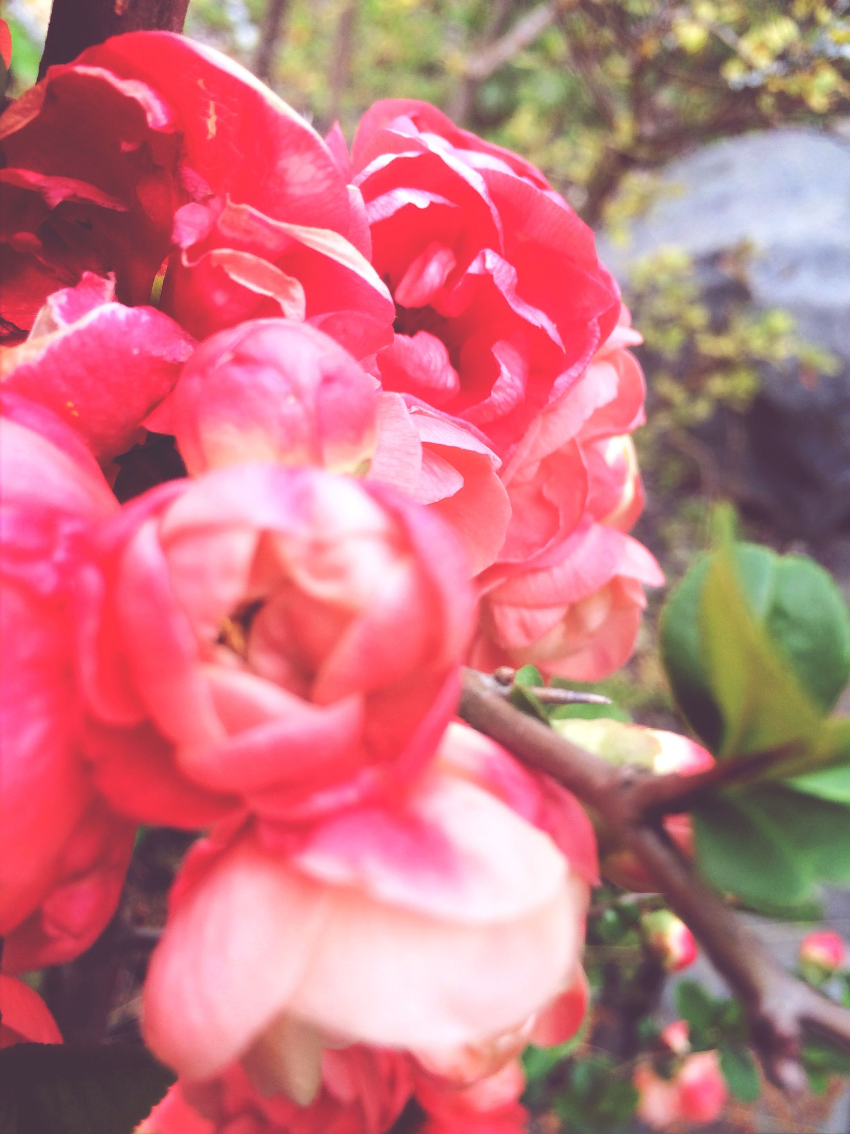 flower, freshness, petal, fragility, flower head, growth, beauty in nature, close-up, focus on foreground, red, nature, blooming, rose - flower, plant, blossom, pink color, in bloom, day, park - man made space, selective focus