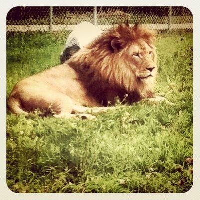 The King! #parcsafari #quebec Animal Safari Park Quebec King Lion Parcsafari Hemingford