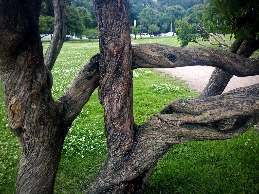 Tree Growth Sunlight Grass Green Color Shadow Outdoors Tree Trunk Nature Beauty In Nature No People Russia Питер St.petersburg Самый лучший город Санкт-Петербург Close-up дерево ствол вьется красиво Beauty