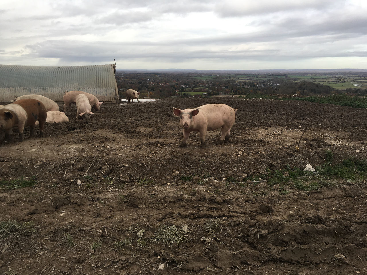 OK? Animal Themes Farm Livestock Mammal Mud Muddy No People Pig Pigs