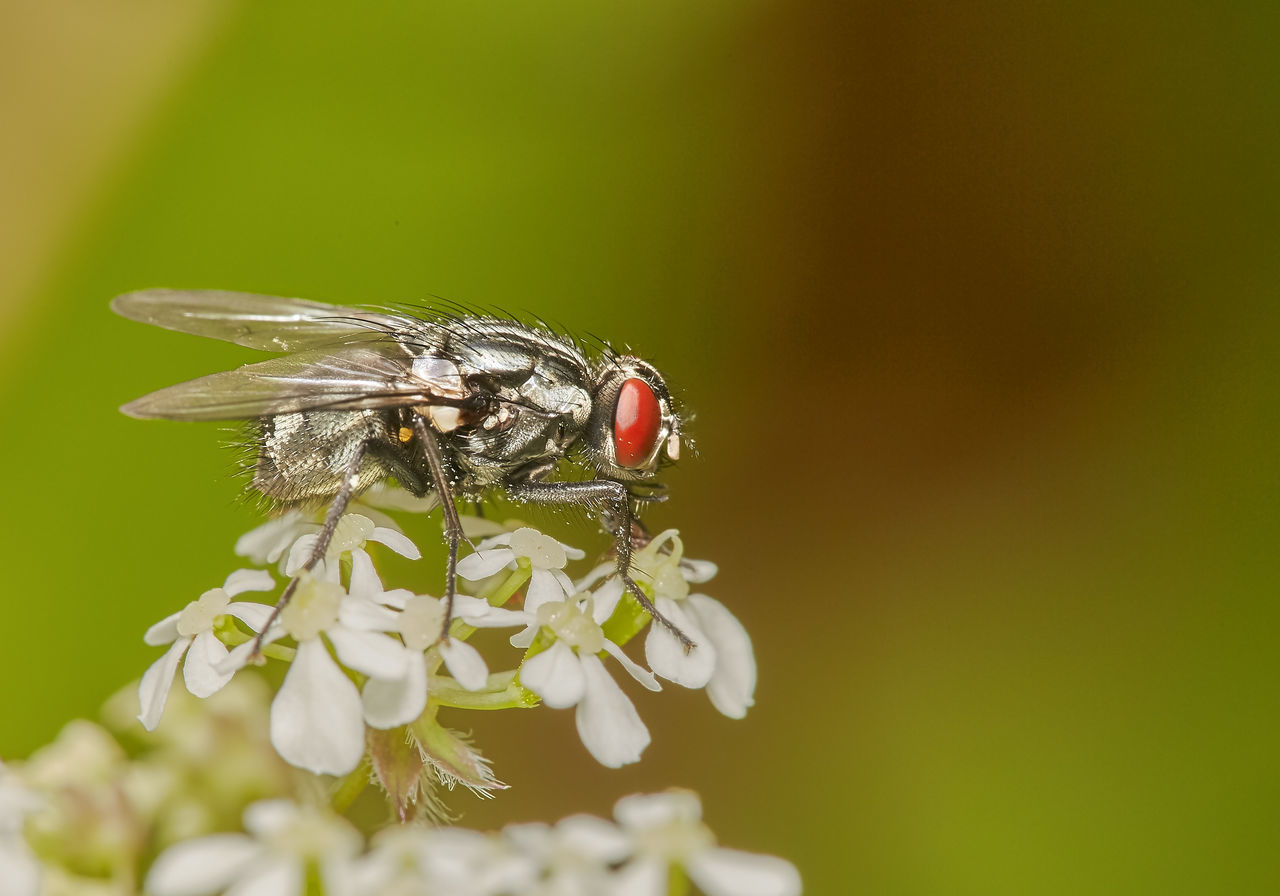 Common Fly on Flower Animal Themes Animal Wildlife Animals In The Wild Beauty In Nature Close-up Day Flower Fly Fragility Insect Nature No People One Animal Outdoors