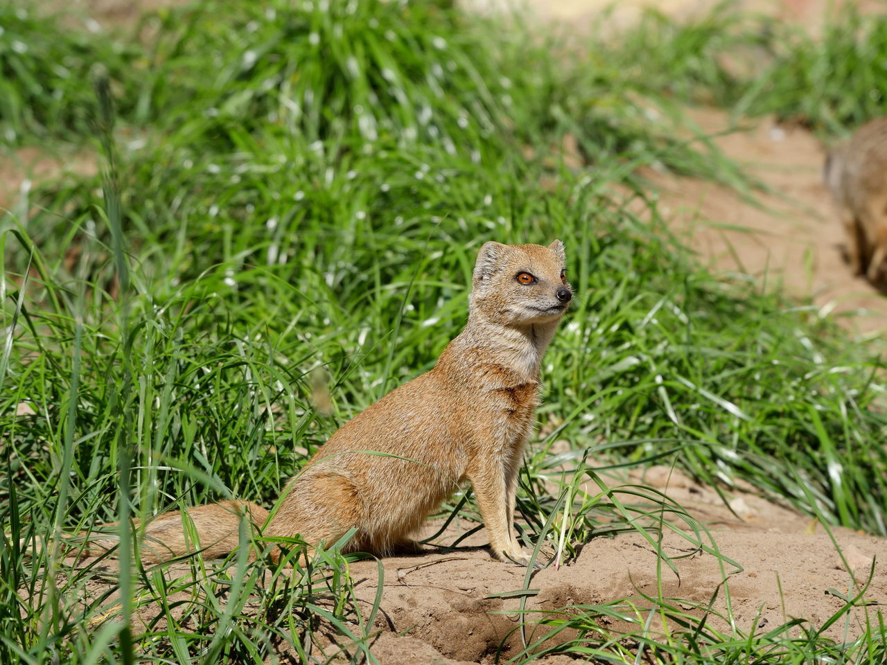 Fuchsmanguste Yellow Mongoose Mongoose Red Meerkat Animal Eyes Animals Grass No People Non Urban Scene Outdoors Sand Taking Photos From My Point Of View Animal Themes Beauty In Nature Wildlife & Nature Perspective Zoology