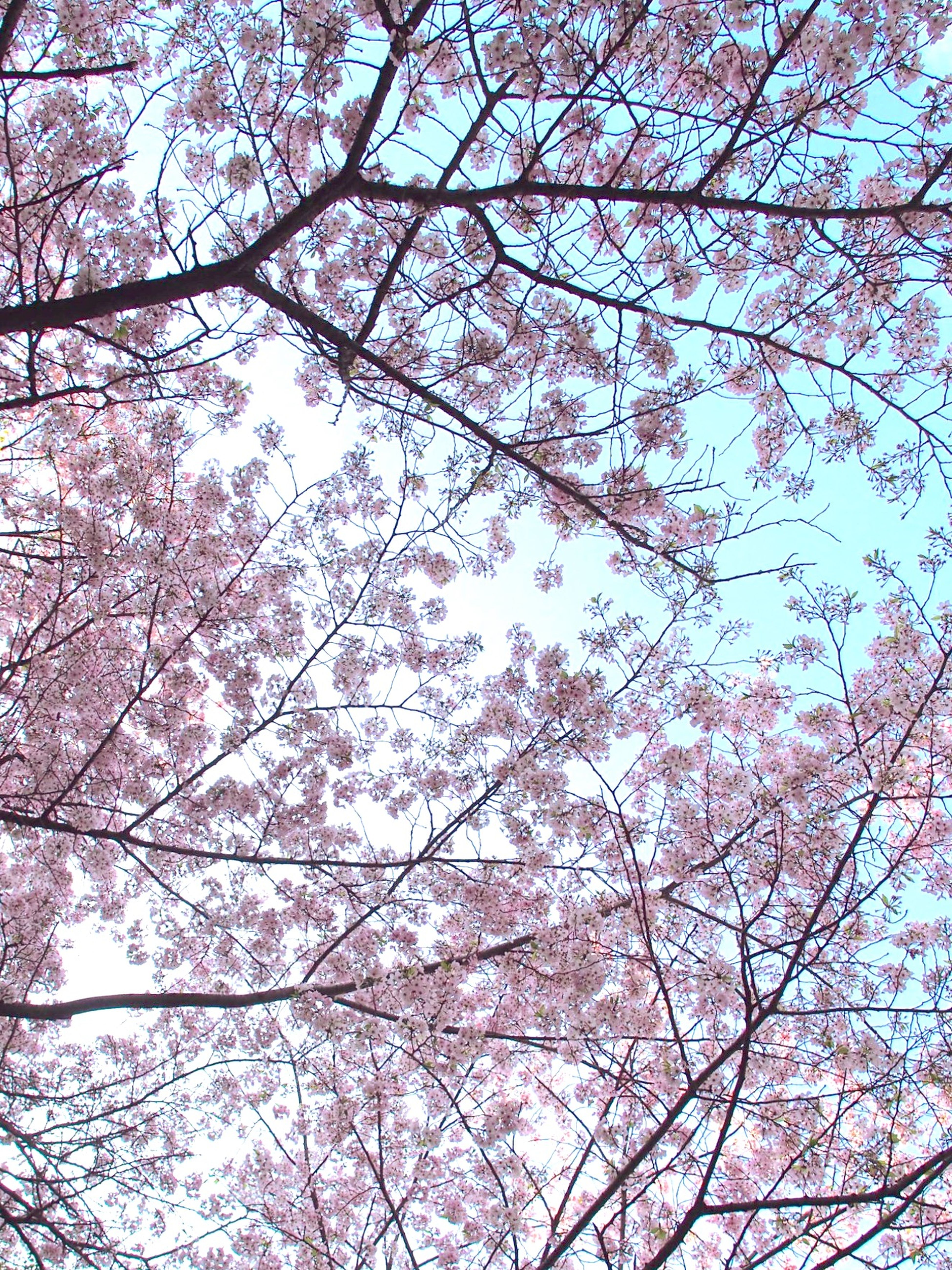 Sakura Cherry Blossoms Cherryblossom