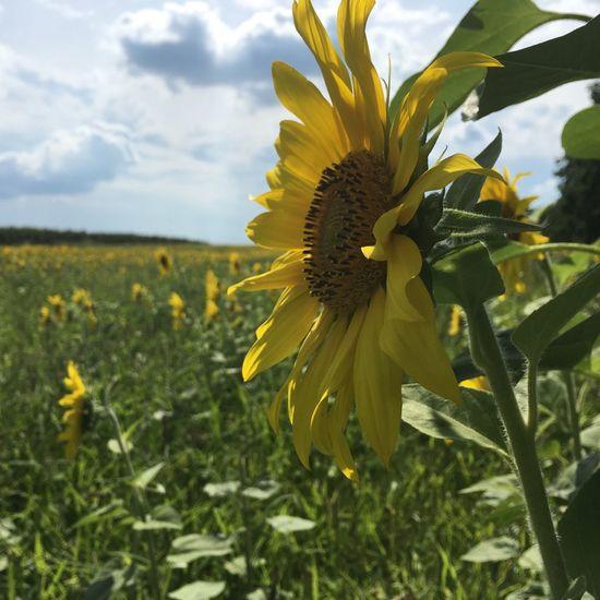 Sunflower Bestday Best Friends Blue Sky Bisicle Tour Hohenwalde