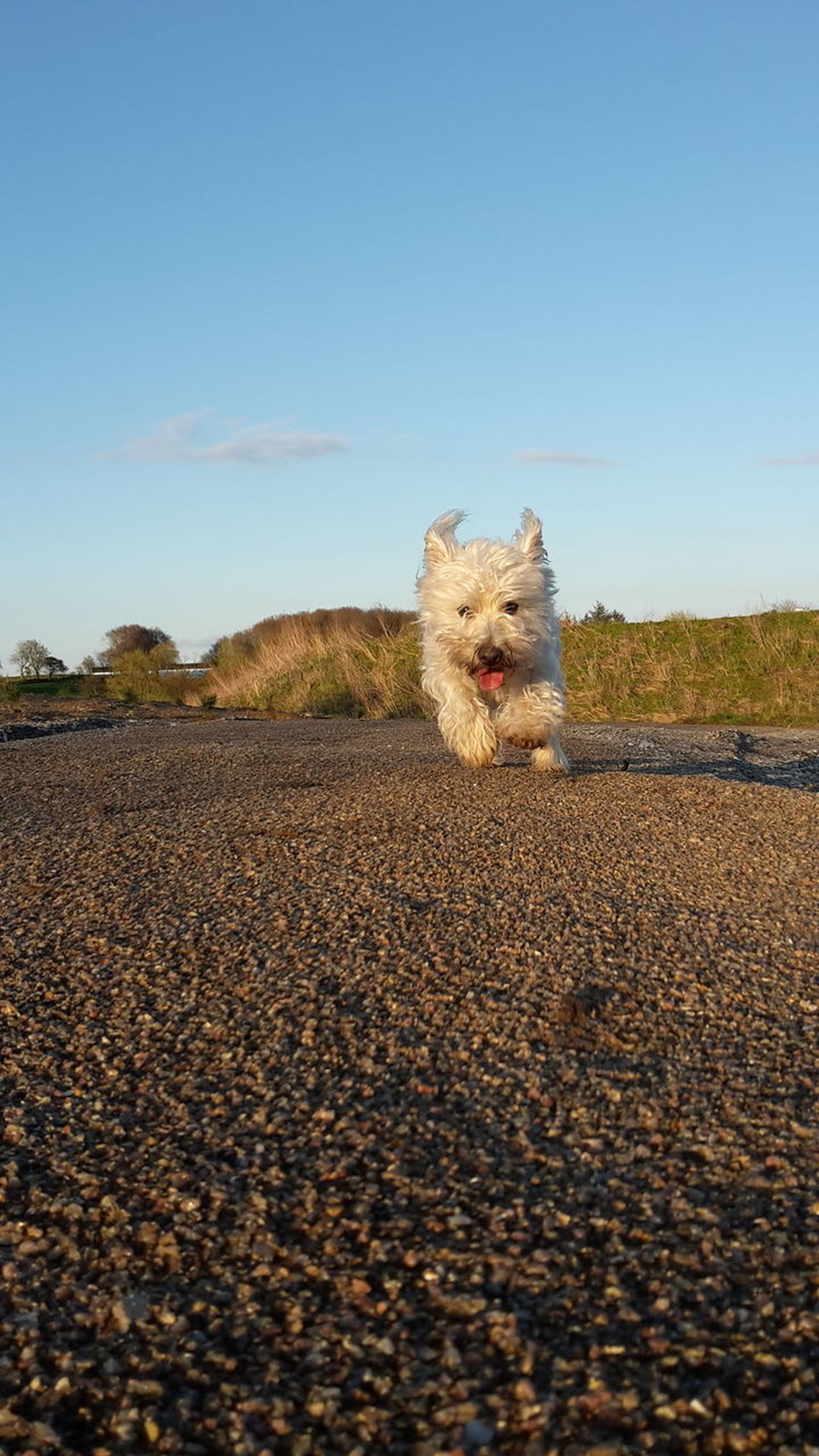 One Animal Outdoors No People Animal Themes Nature Sky No Filter, No Edit, Just Photography My Dog Running Dog Movment West Highland White Terrier Mobile Photography