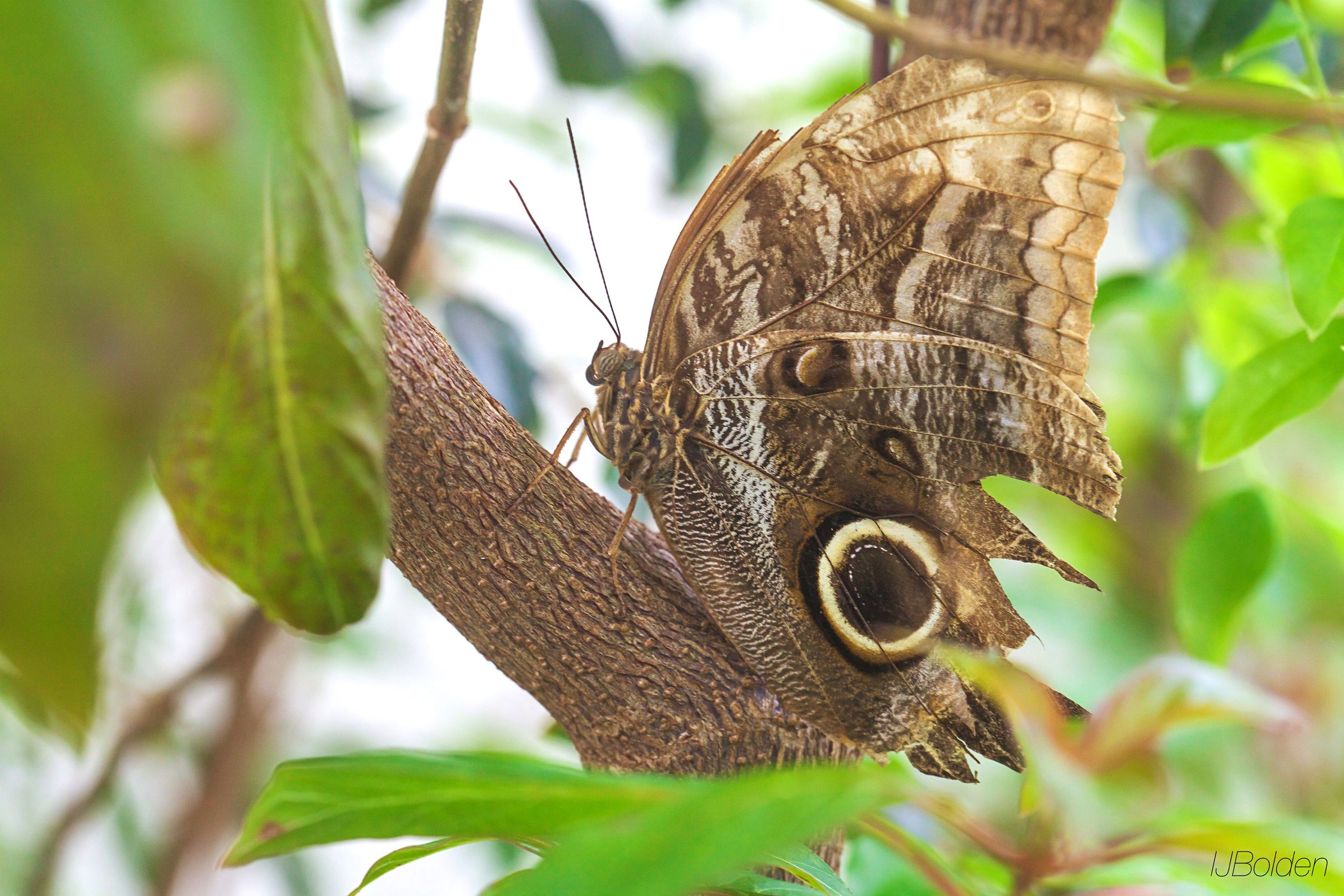 animals in the wild, one animal, wildlife, animal themes, focus on foreground, close-up, insect, leaf, nature, tree, growth, butterfly, butterfly - insect, plant, natural pattern, beauty in nature, outdoors, day, branch, forest
