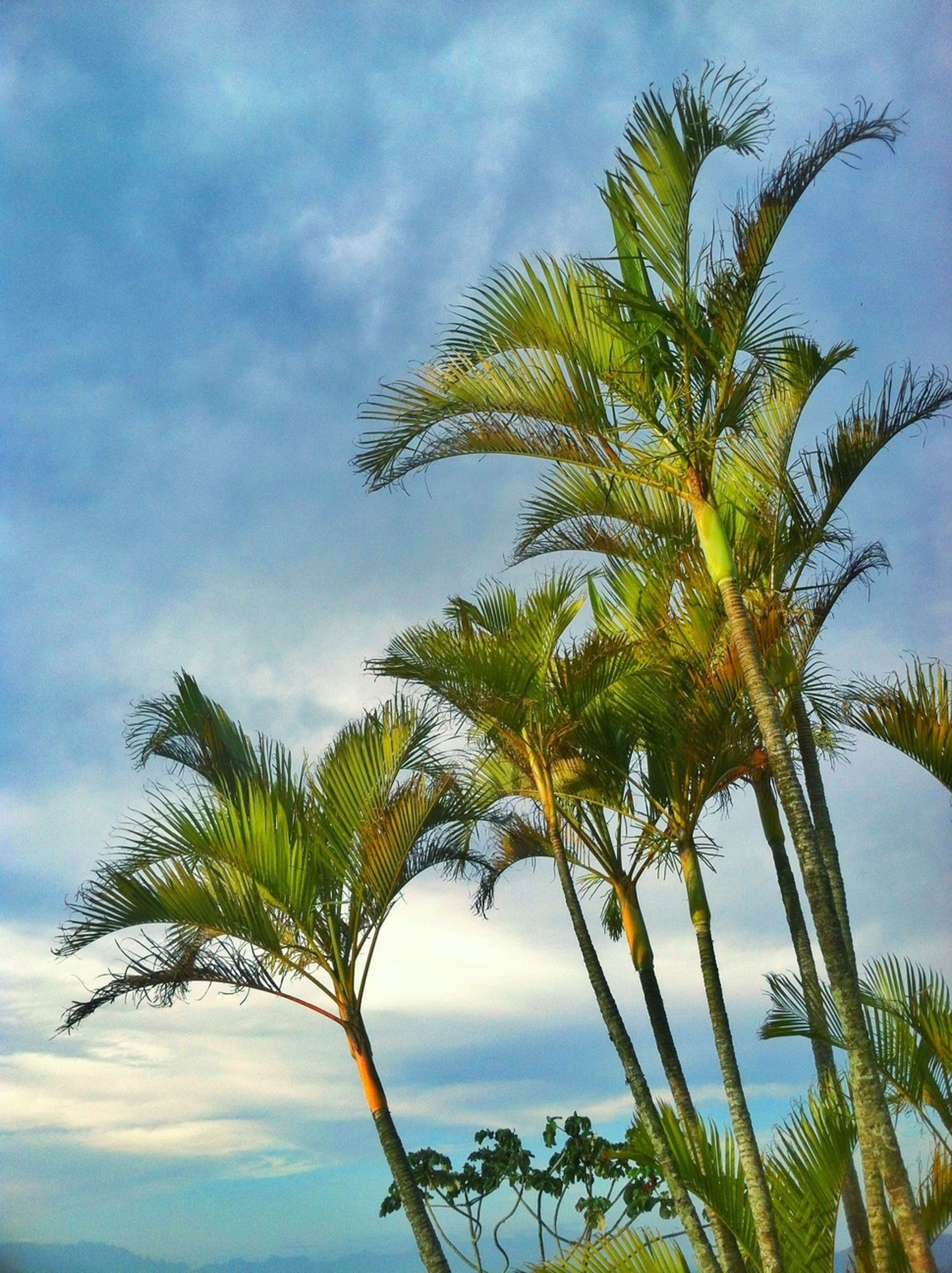 sky, palm tree, low angle view, tree, growth, tranquility, cloud - sky, nature, cloud, beauty in nature, scenics, tranquil scene, leaf, blue, tree trunk, cloudy, green color, branch, day, outdoors