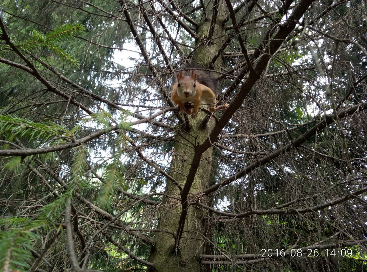 tree, one animal, low angle view, branch, animal themes, outdoors, animals in the wild, tree trunk, nature, day, no people, animal wildlife, forest, mammal, red panda, sky