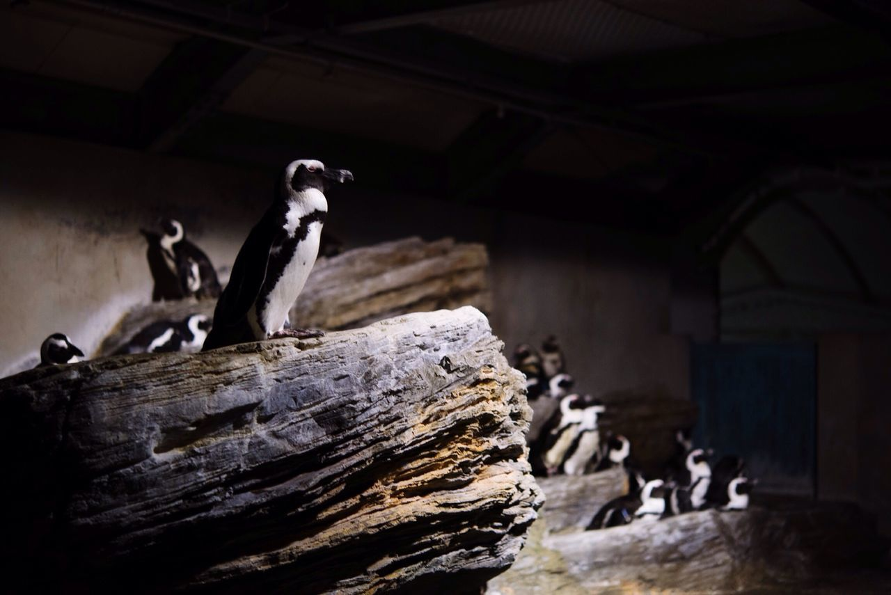 Beautiful stock photos of penguin, Animal Themes, Animal Wildlife, Animals In Captivity, Aquarium