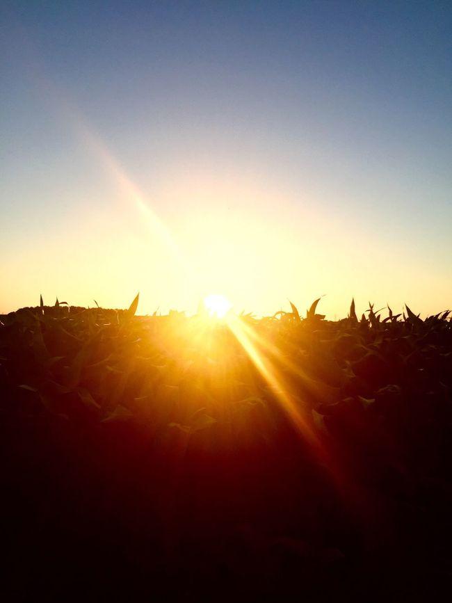 Beautiful sunset on a corn field