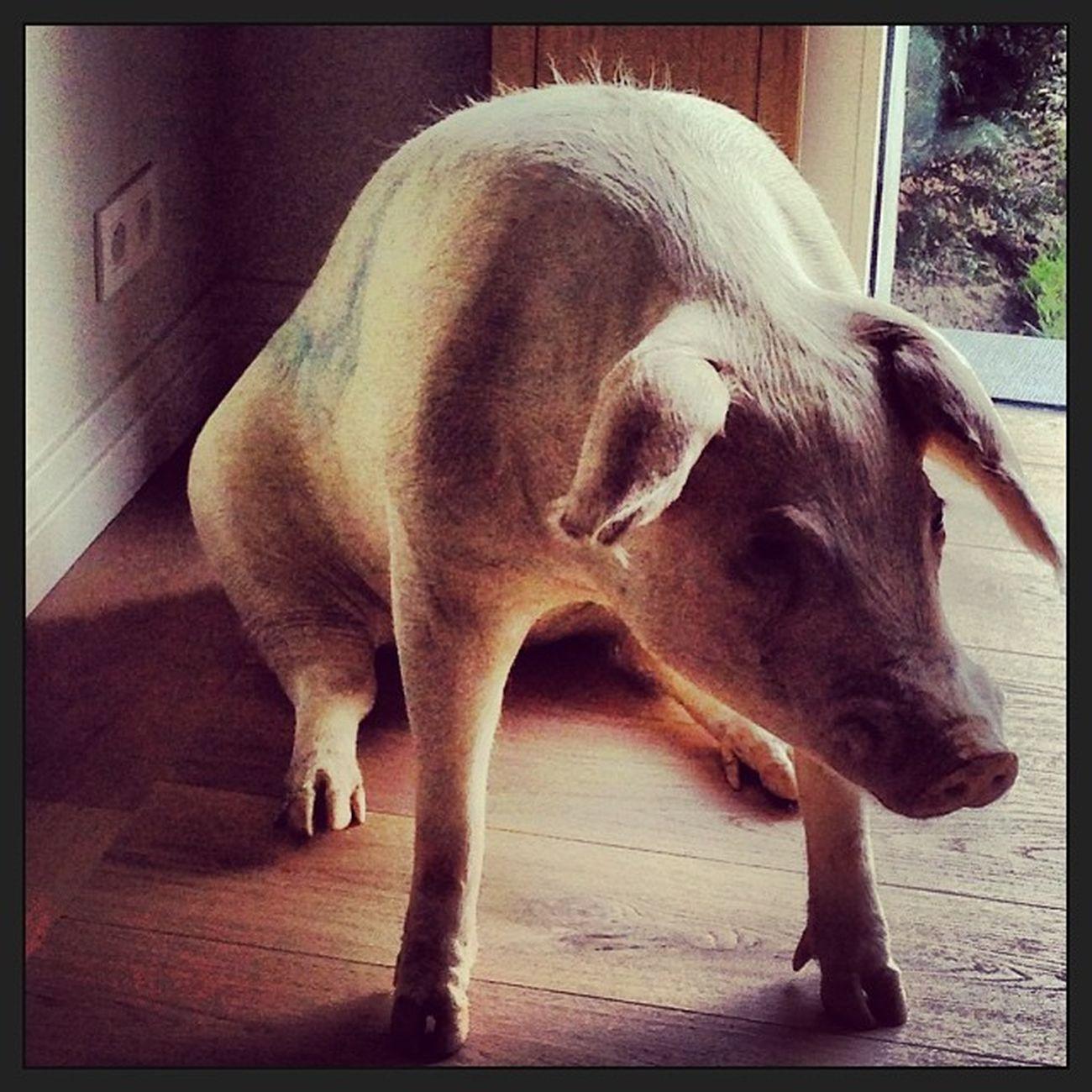 WimDelvoye Stuffed Tattooed Pig Love art