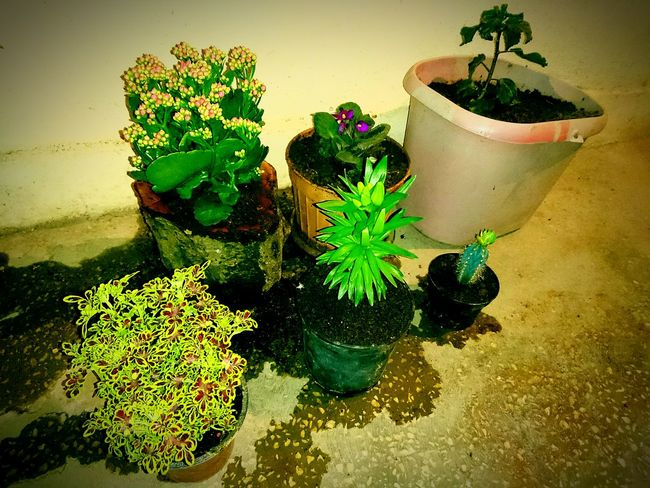 Naturesdiversities Natures DiversitiesHello World Relaxing Enjoying Life Hobby Balcony Pot Bud Flower Collection Flowerlove Flower Hibiscus 🌺 Lily Kalanchoe Magnolia Cactus Coleus Coleus Scutellarioides Carboy Demijohn Chinarose Flowerbud Woodenpot Hibiscus