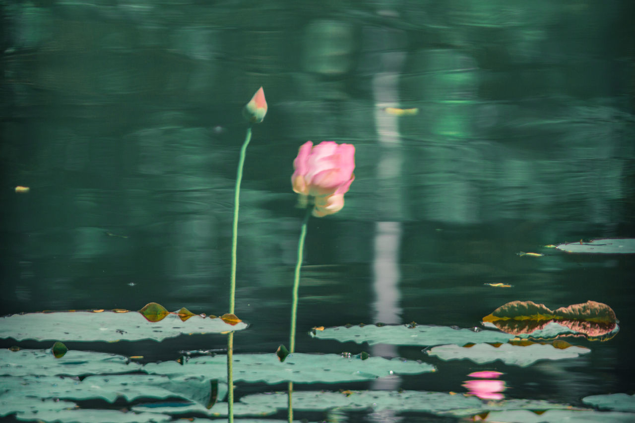 Water reflection. Beautiful Nature Beauty In Nature Beauty Redefined Floating On Water Flower Freshness Growth Lotus Water Lily Nature Plant Reflection Water Water Lily Water Reflection