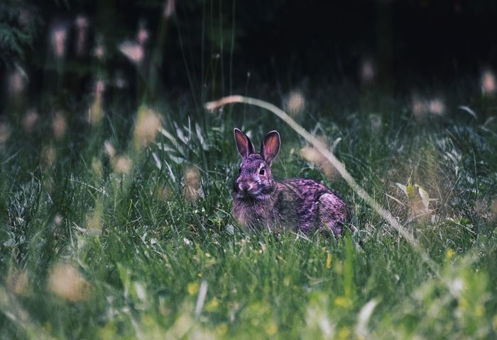 Nestled in the grass. Animal Themes Grass One Animal Animals In The Wild Flower Nature Animal Wildlife Selective Focus Mammal No People Outdoors Day Domestic Animals Plant Pets Close-up Bunny  Rabbit EyeEmAnimalLover