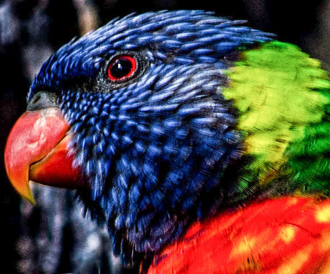 Australia Nature Wildlife & Nature Wildlife Photography Animal Themes Animal Wildlife Bird Nature Rainbowlorikeet Wildlife