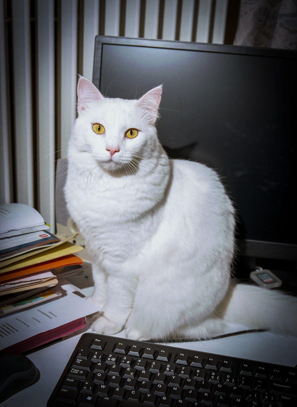 Analog Analogue Photography Computer Monitor Domestic Cat Indoors  Looking At Camera Office One Animal Papers Persian Cat  Portrait Yellow Eyed Cat Yellow Eyed Cat Staring Yellow Eyes