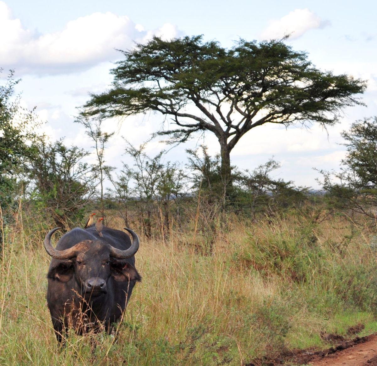 Buffalo Red Billed Oxpecker Wildlife & Nature Wildlife Tree Landscape