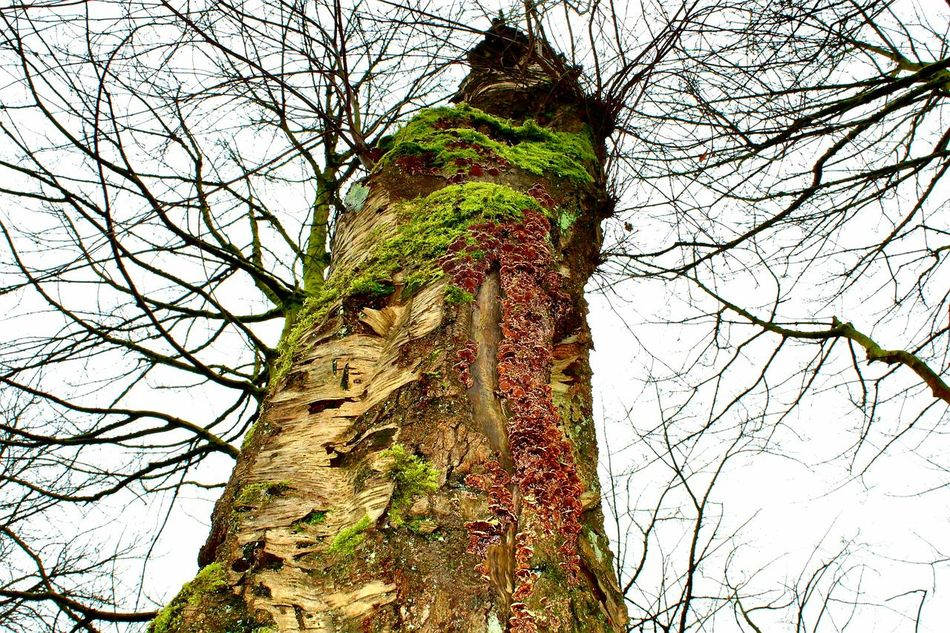 Tree Low Angle View Branch Nature Outdoors Day Sky Beauty In Nature Mossy Trees Moss Treetastic Tree Trunk Trees_collection Tree Close-up Colours Of Nature Treelovers
