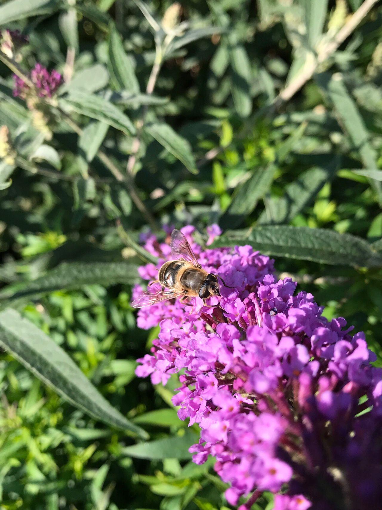 Honey Bee Honey Bees  Honeybee On Flower Buddleia IPhone IPhoneography IPhone Photography My Garden @my Home My Garden Flowers, Nature And Beauty Flowers,Plants & Garden