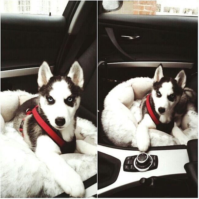 My sweety!!! ♥ Husky Dog Lovely