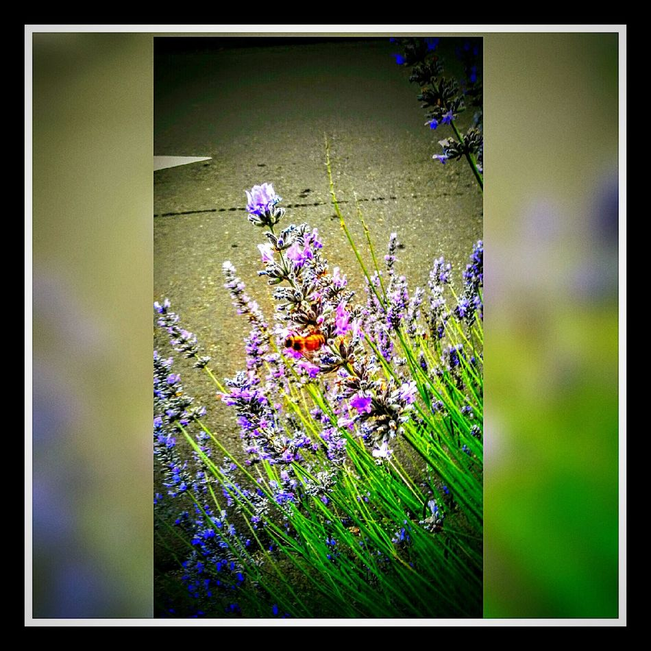 Lavenderflower Honey Bee Worker Bee Birds And The Bees Nature_collection Nature Photography Love ♥ Labor Of Love Beautiful Garden