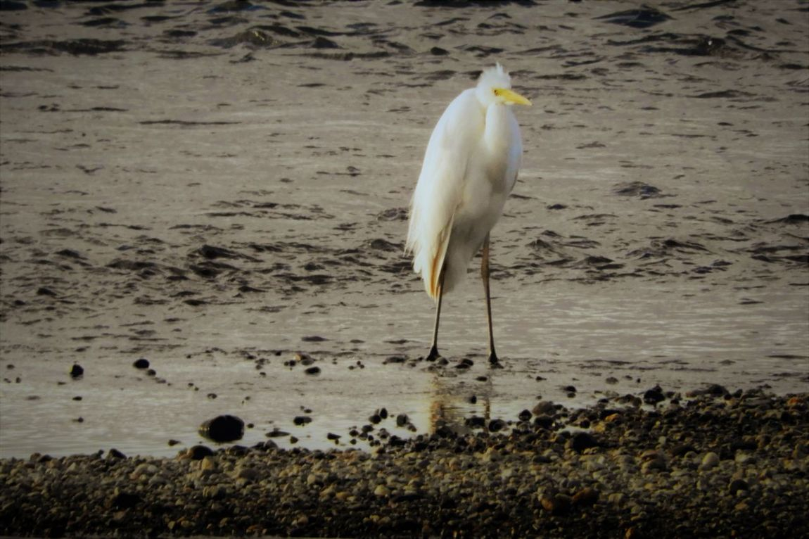 Animal Themes Animals In The Wild Bird Day Nature No People One Animal Outdoors Water 佇む白鷺 利根大堰 利根川