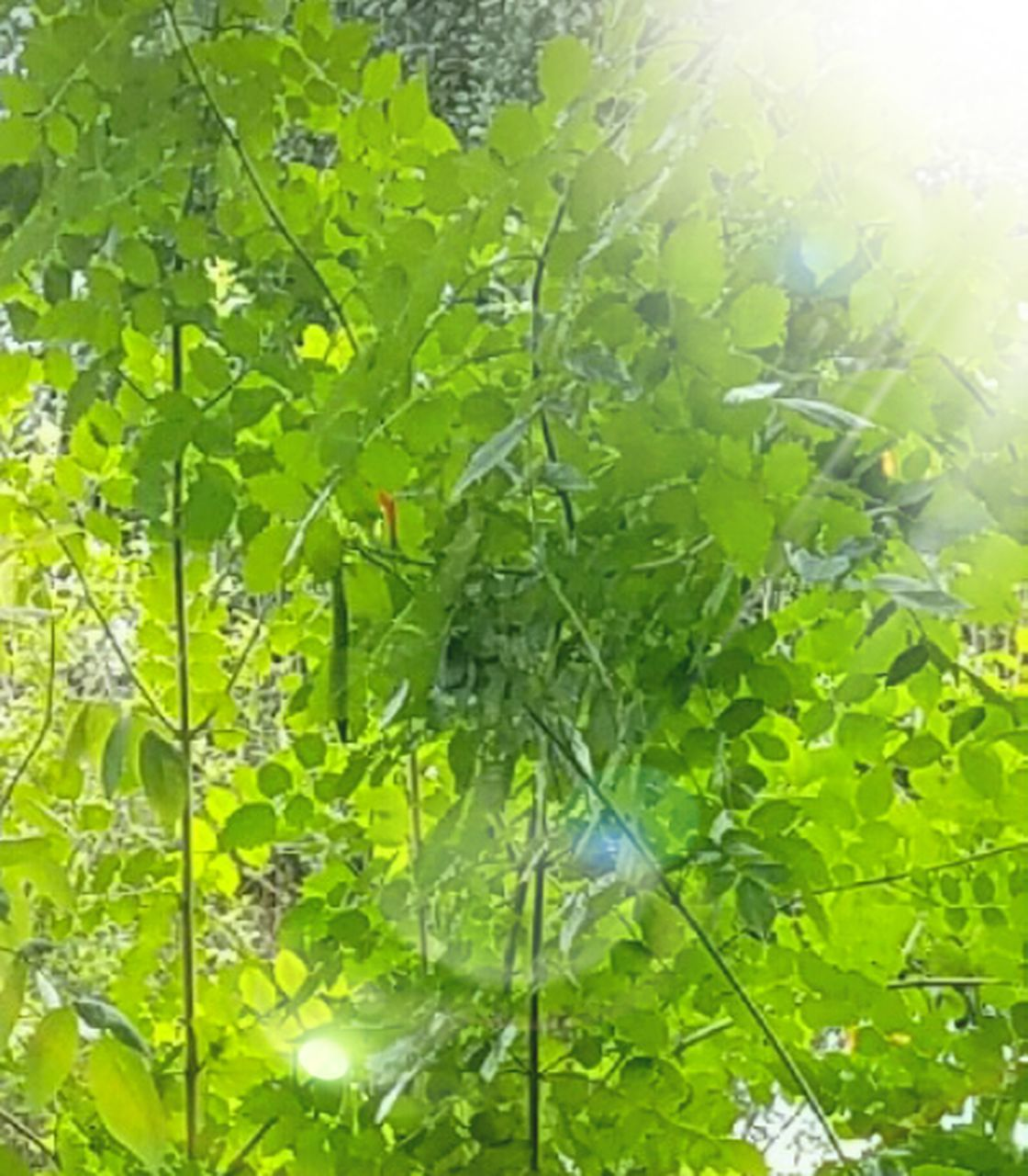 leaf, green color, growth, plant, nature, freshness, sunlight, no people, backgrounds, close-up, day, outdoors, beauty in nature, food