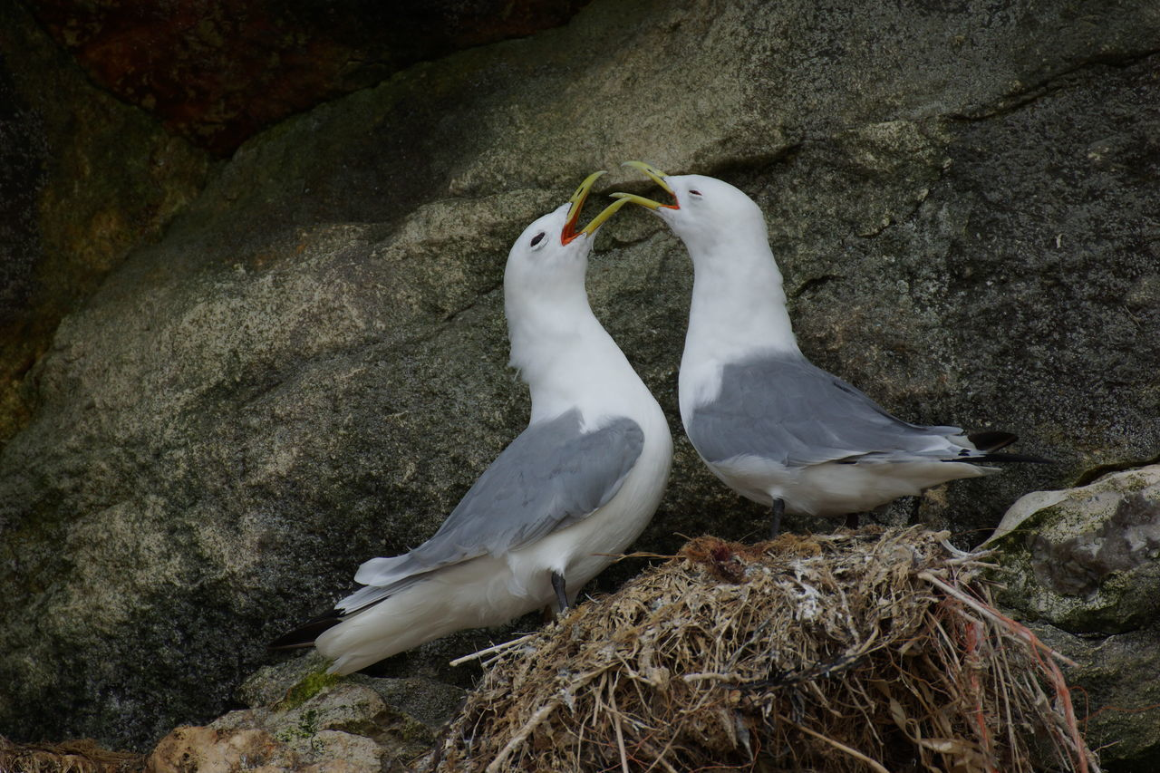 Pair of Kittiwakes Animal Themes Animal Wildlife Animals In The Wild Beauty In Nature Bird Bird Sanctuary Breeding Day Denmark Greeting Gull Kittiwake Nature Nest Nesting No People North Sea Outdoors Ritual Rock Seabirds Seagull Togetherness Twosome Welcome