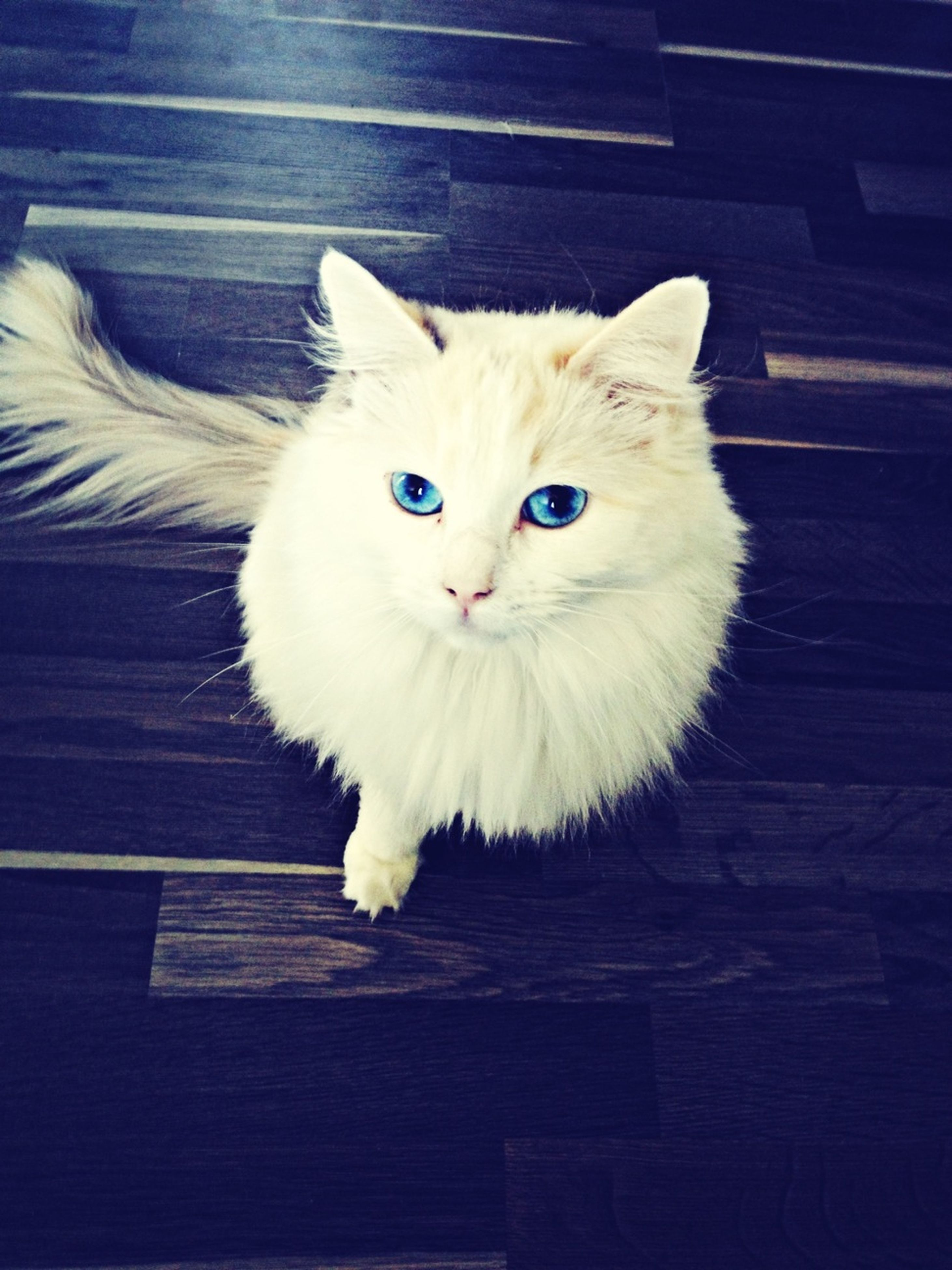 domestic cat, cat, pets, animal themes, domestic animals, one animal, feline, indoors, whisker, looking at camera, portrait, mammal, white color, sitting, close-up, relaxation, alertness, front view, flooring, high angle view