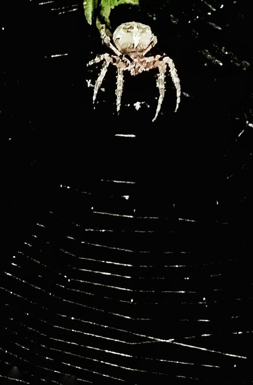 Spider Spider On Web Huge Spider Spider Hunting Night Insects 8 Legs 8 Legged Freaks Natures Artist Natures Diversities Natures Artwork Big As My Hand Biggest Spider Web Big Spider Night Animal Arachnid Photography Arachnid Arachnophobia Facing My Fear Not Macro Not Macro Lens No Fear Insects Collection Animal Bugs Overnight Success