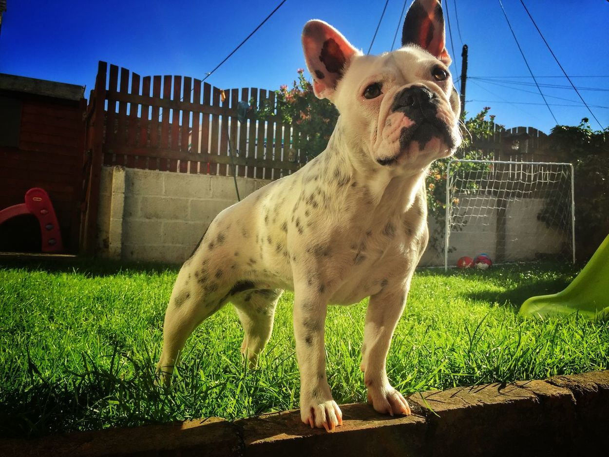 French Bulldog Macie Moose Frenchie