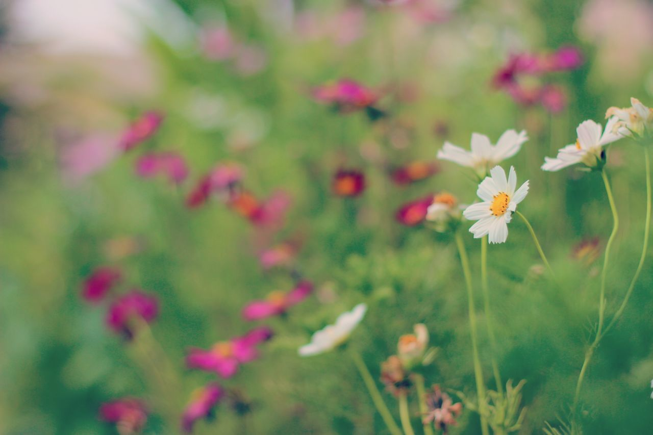 flower, freshness, fragility, growth, stem, petal, close-up, beauty in nature, daisy, plant, nature, pink color, in bloom, blossom, springtime, flower head, focus on foreground, selective focus, field, botany, day, pink, green, growing, daisies, wildflower, new life, no people, bloom, green color, plant life