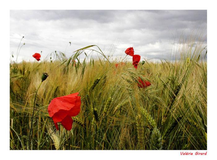 Beauty In Nature Champs Champs De Coquelicots Coquelicot Flower Nature Paysage Petal
