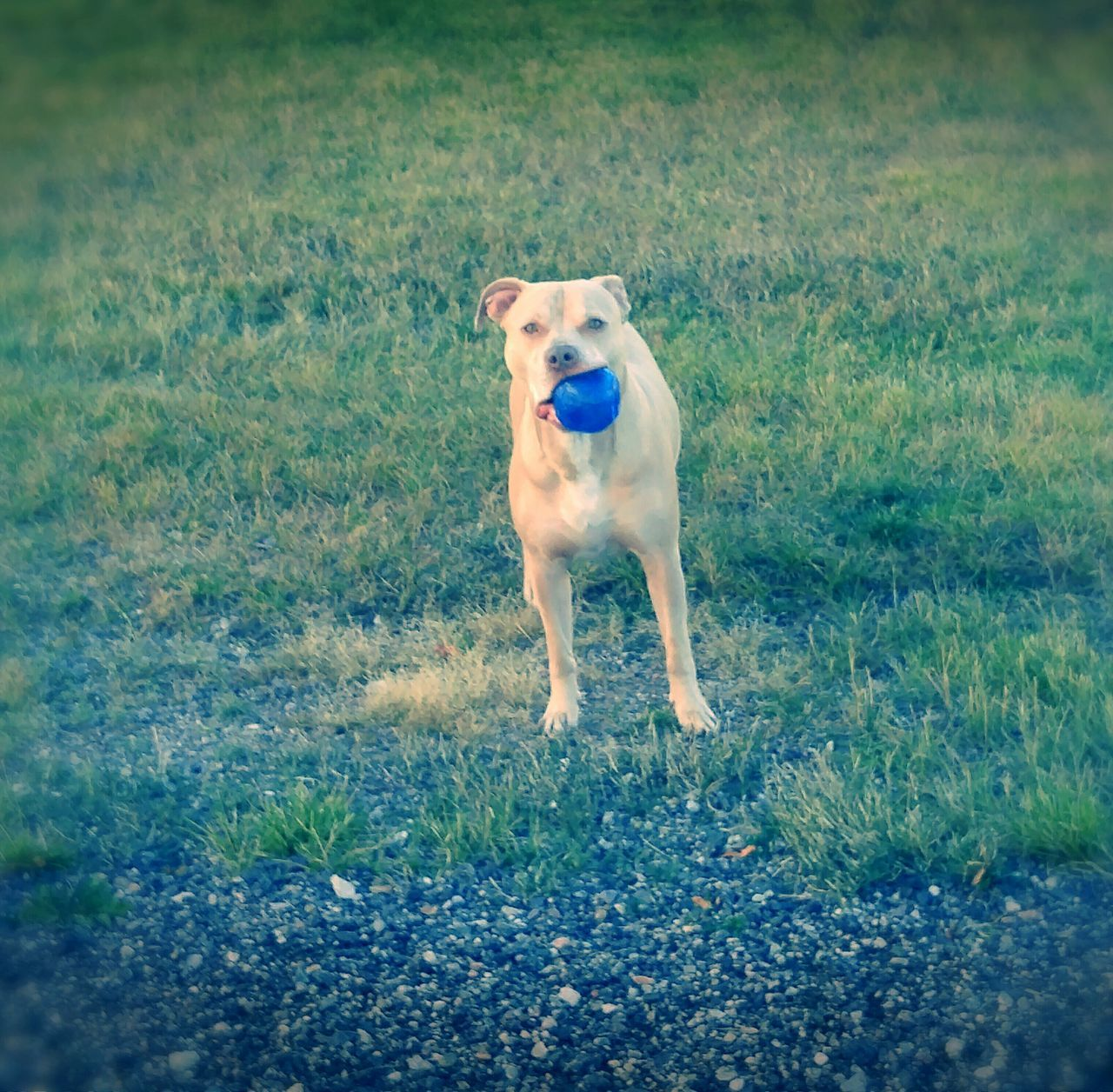 His name is Savior for a reason, Domestic Animals Dog Pets One Animal Animal Themes Mammal Grass Field Full Length Grassy Loyalty Animal Front View Zoology Pampered Pets Focus On Foreground Majestic Breaking Stereotypical Pitbull Image