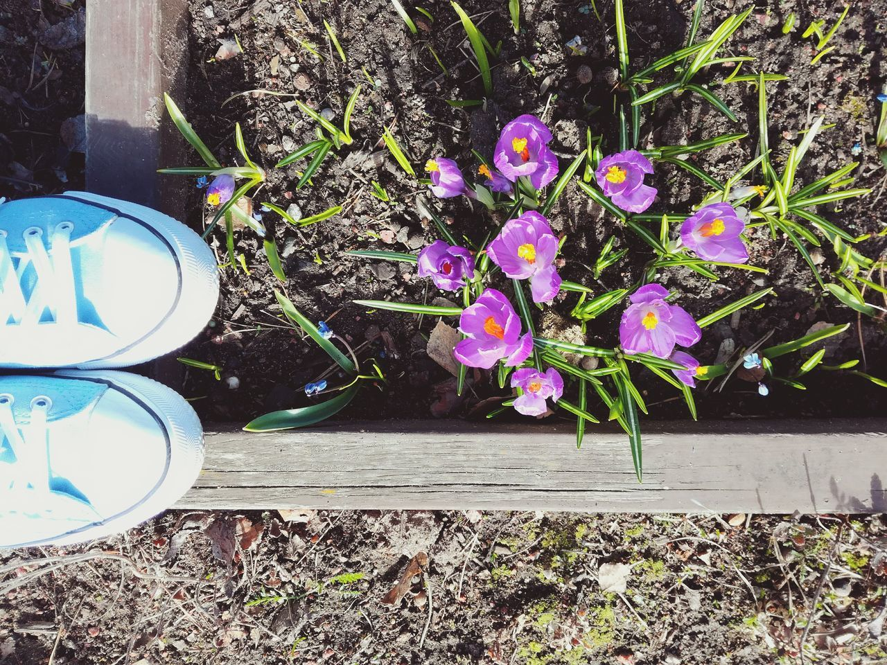 Outdoors High Angle View Flower Nature Close-up Sneakers Springtime Sunny Morning Crocus Flower Feet Ground