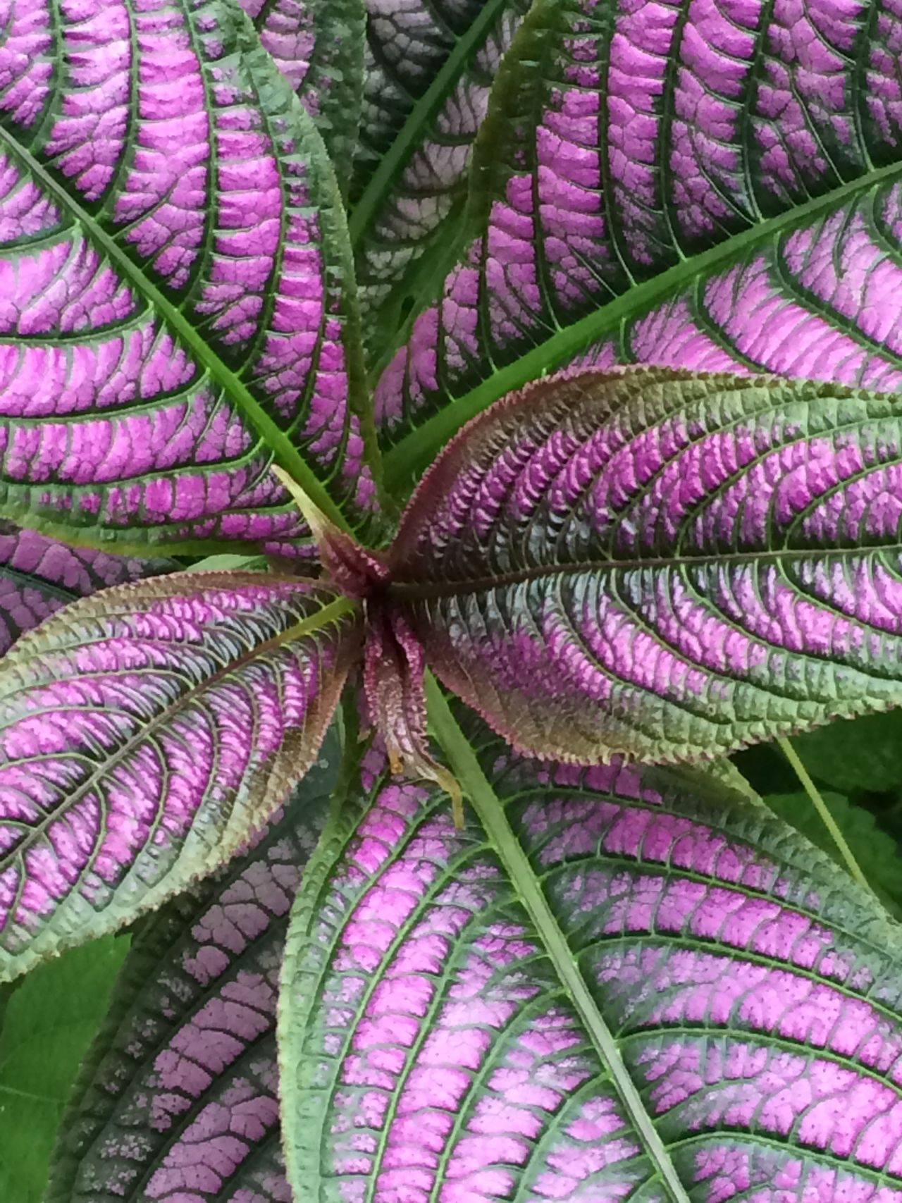 Growth Leaf Plant Close-up Beauty In Nature Detail Natural Pattern Purple Vibrant Color Extreme Close-up