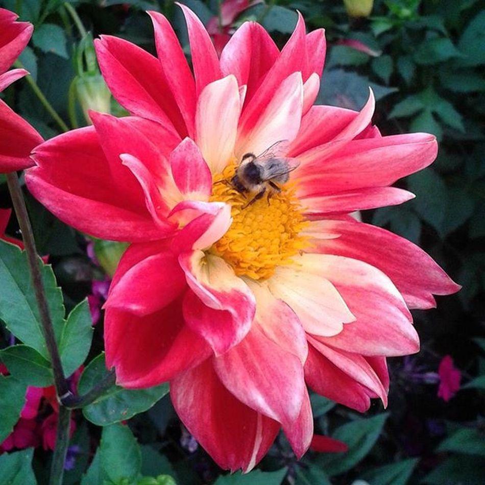 Omsk Siberiansummer Siberia Flower Bumblebee омск сибирскоелето сибирь цветочек аленький шмель
