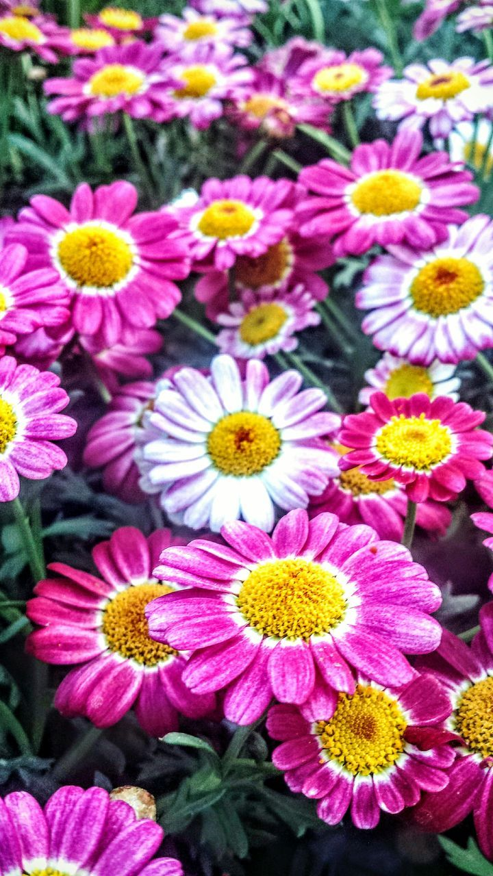flower, petal, freshness, fragility, flower head, beauty in nature, growth, nature, yellow, no people, pink color, blooming, outdoors, day, plant, close-up