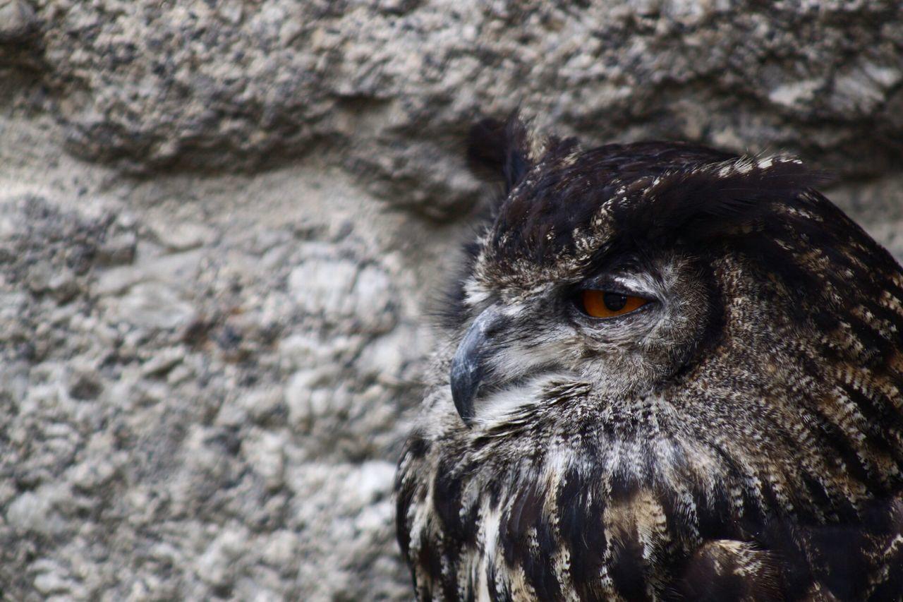 Beautiful stock photos of owl, Alertness, Animal Head, Animal Themes, Animals In The Wild