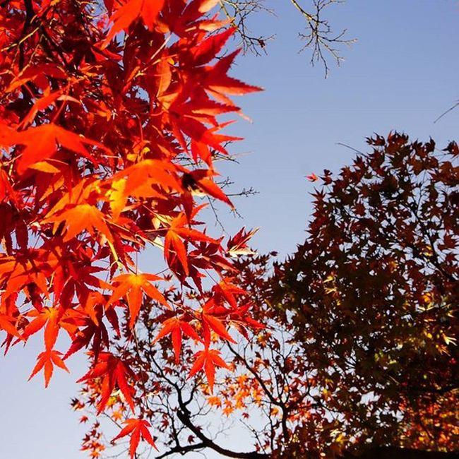 眩しい朱 . Travelgram 永観堂 永観堂禅林寺 Fall Autumn Autumnlove Kyotowalk Kyoto Japan 😚 😚 もみじ 紅葉 紅葉狩り Red Yellow 京都 東山 ColorsOfAutumn Fallenleaves Fallingleaves