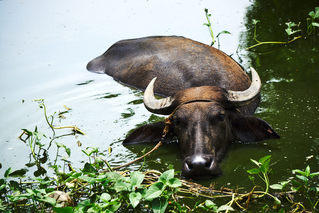 Philippines' Water Buffalos. Used by farmers to tilling the soild. Animal Animal Head  Animal Themes Beauty In Nature Black Color Buffalo Farm Animals Green Color Herbivorous Lake Mammal Nature No People Pampanga Philippines Sony A6000 Water Buffalo Wildlife & Nature Wildlife Photography Pampanga Eyeem Philippines EyeEm Pampanga Showcase June