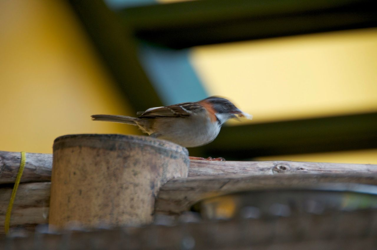 animals in the wild, one animal, animal themes, bird, animal wildlife, selective focus, perching, no people, great tit, day, outdoors, nature, sparrow, close-up